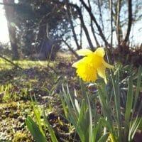 February Half Term Daffodil